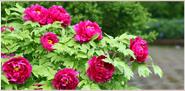 洛阳牡丹园、洛阳国花园
